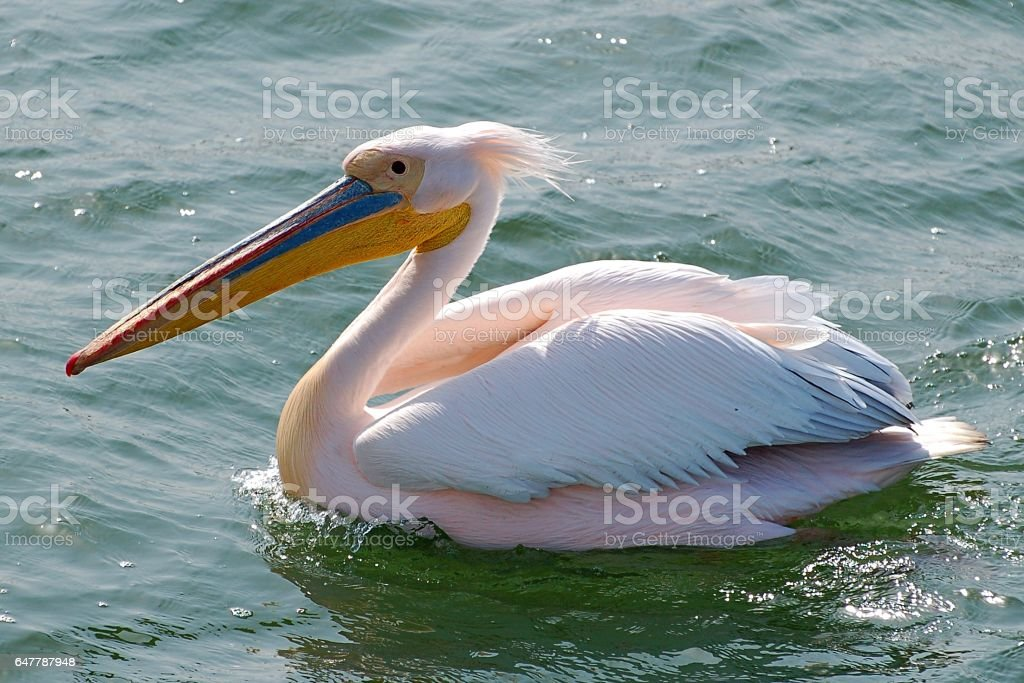 Swimming Pelican in the Walvis Bay of Namibia stock photo