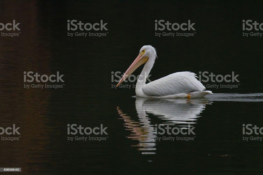Swimming Pelican stock photo