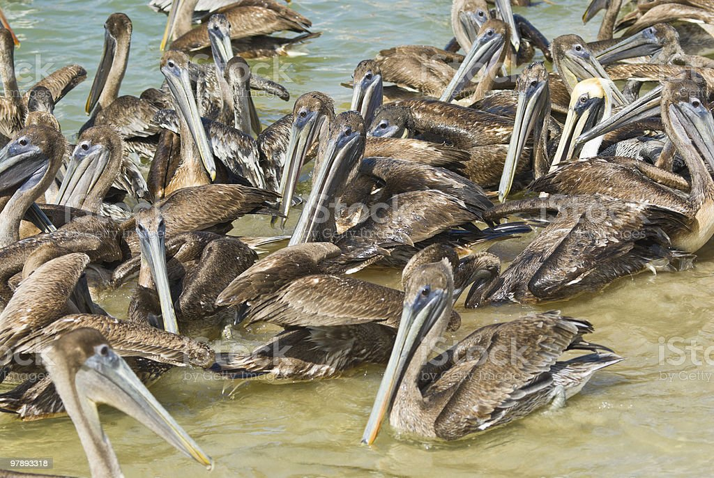 Swimming Pelicans royalty-free stock photo