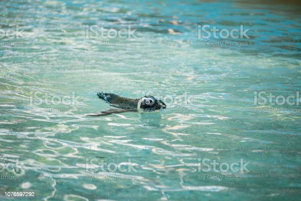 Swimming penguin african penguin also known as the jackass penguin picture id1076597292?b=1&k=6&m=1076597292&s=612x612&h=wmxucfqg6ebbake8wo pfkyhca6l kxoqqlltpxdr38=