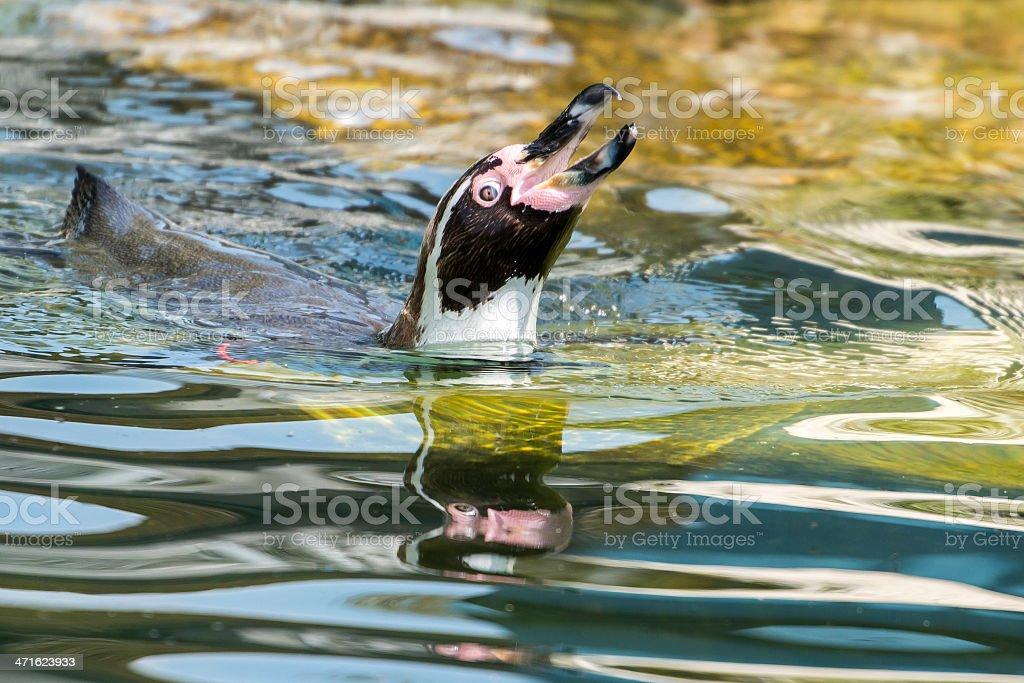 Swimming penguin royalty-free stock photo
