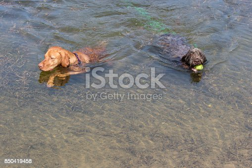 korthals or wire-haired pointing griffon puppy and vizsla