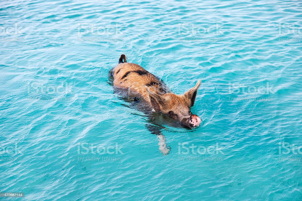 Swimming pig of Exuma stock photo