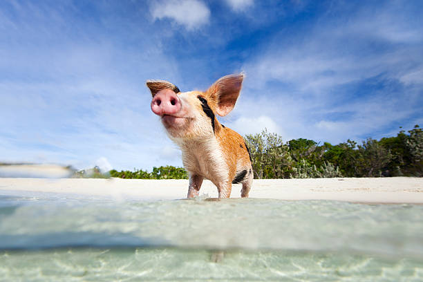 Swimming pigs of Exuma stock photo