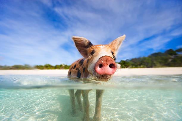 Swimming pigs of Exumas stock photo