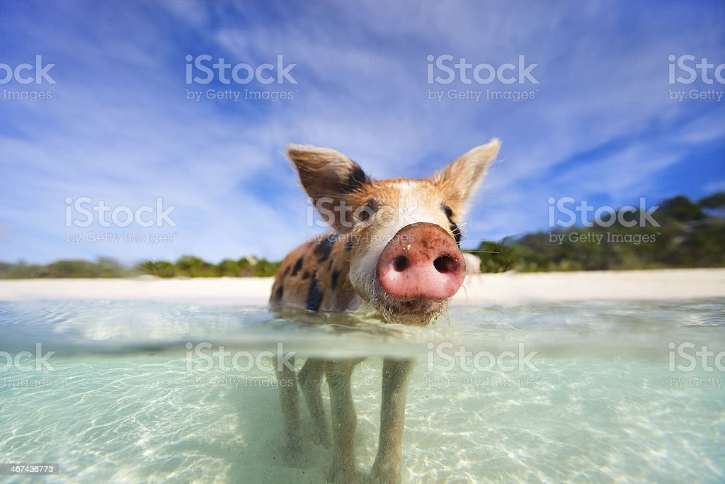 Swimming pigs of Exumas stock photo