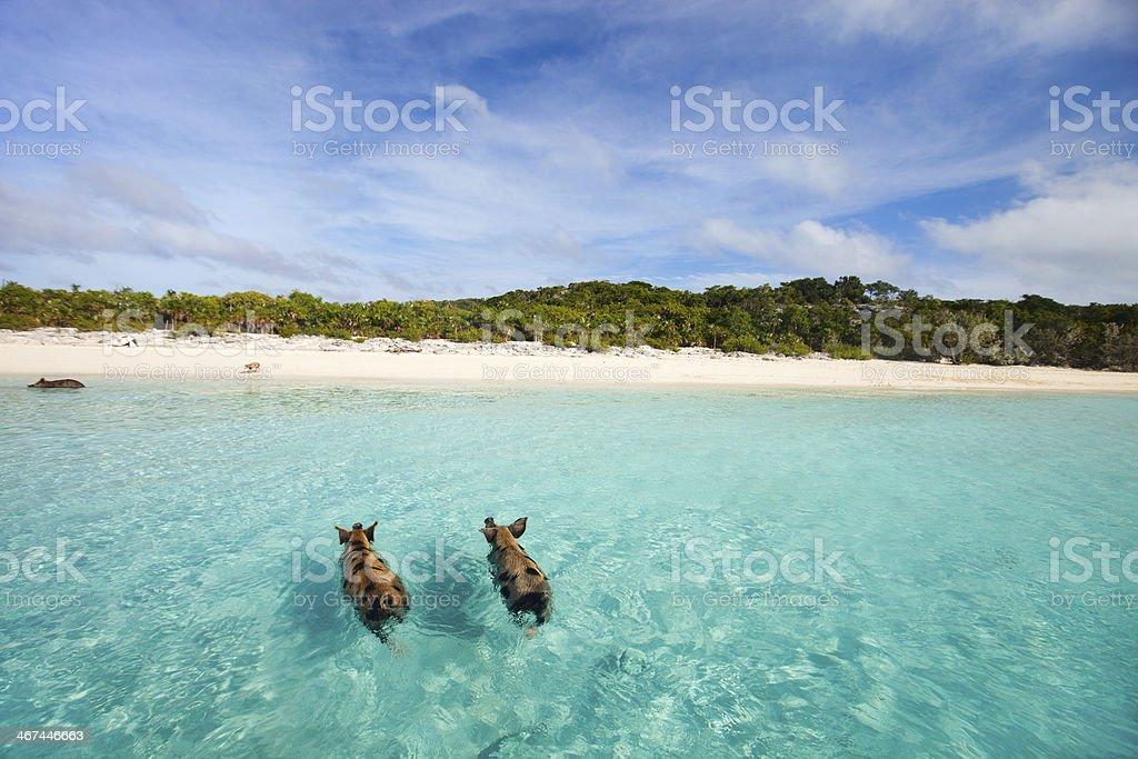 Schwimmen Schweine der Exumas – Foto