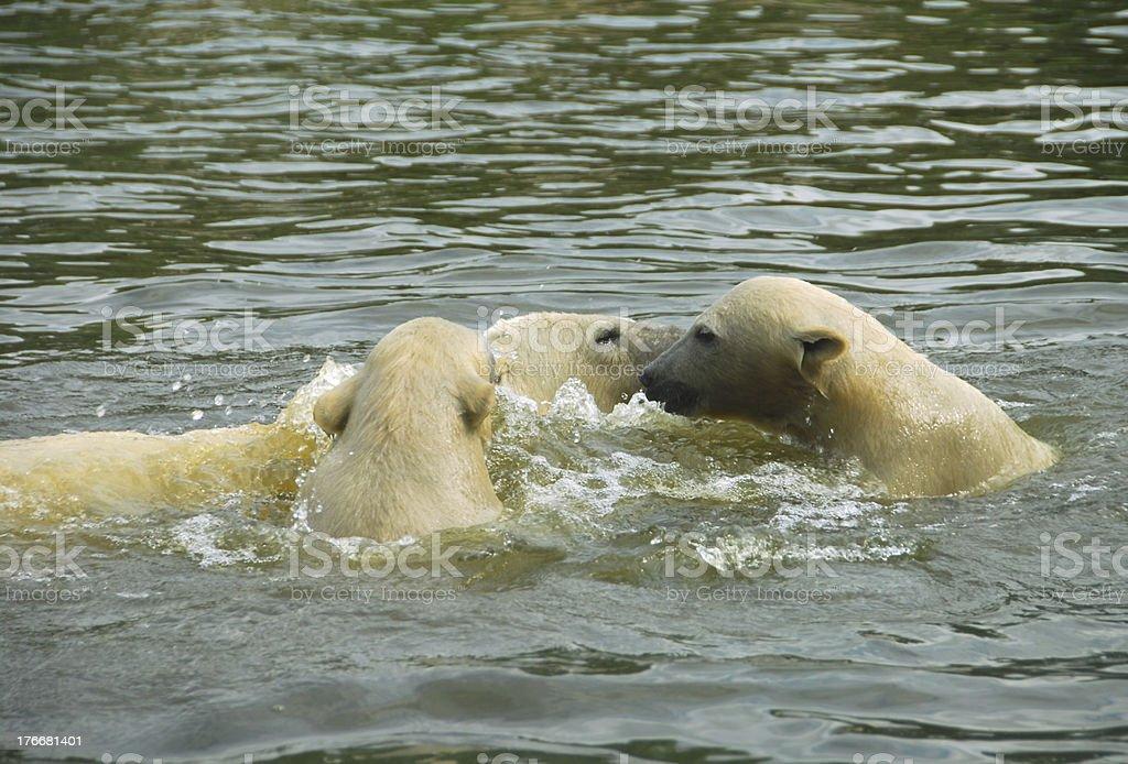 Oso polar natación familia foto de stock libre de derechos