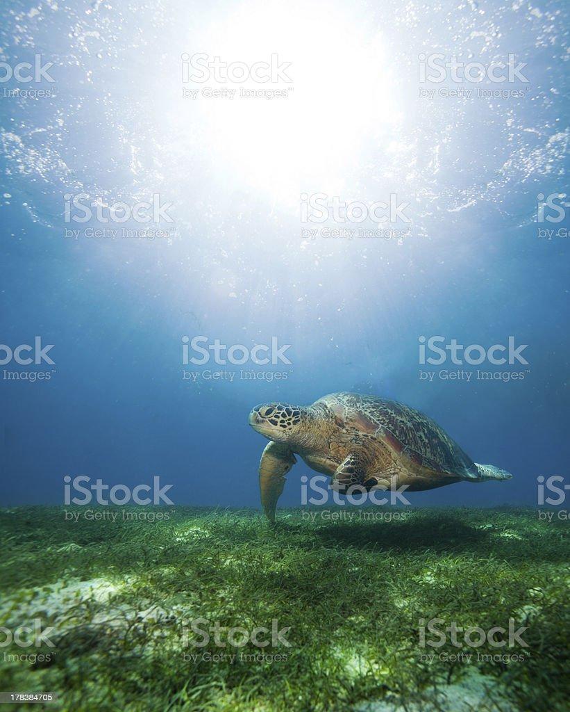 swimming sea turtle in sunlight stock photo