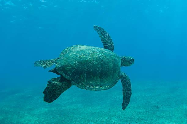 Schwimmen Sie mit Meeresschildkröten – Foto