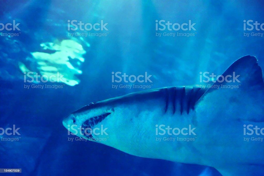 swimming shark mouth royalty-free stock photo