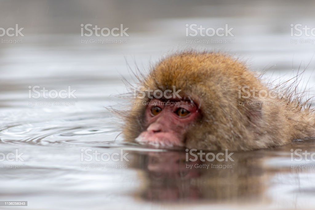 Swimming snow monkey stock photo