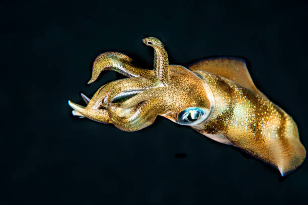 Swimming Squit A Calamari in Komodo Island cuttlefish stock pictures, royalty-free photos & images