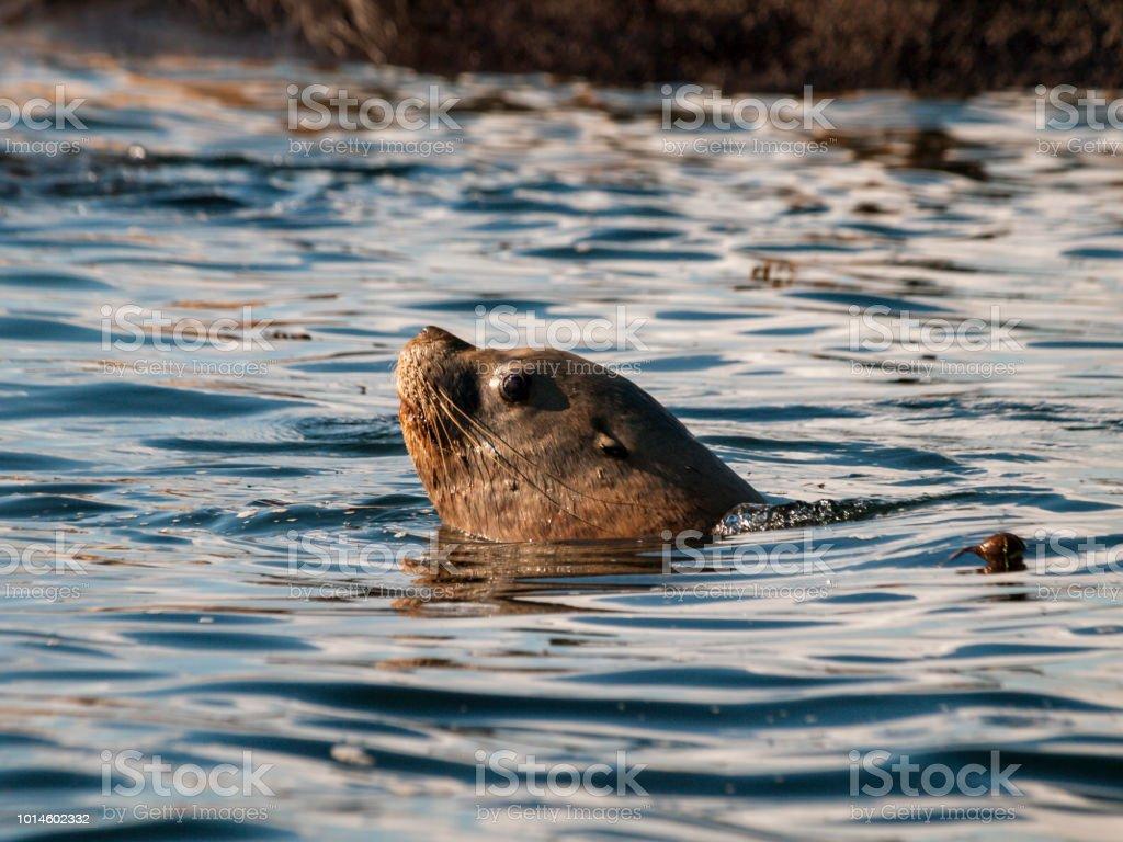 Swimming Steller Sea Lion stock photo