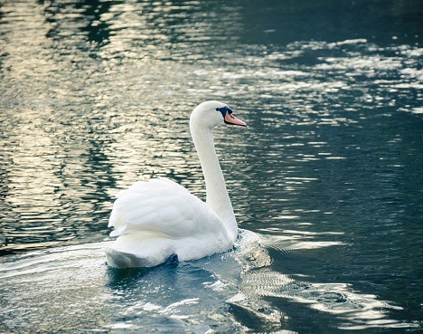 swimming swan in a lake in the evening