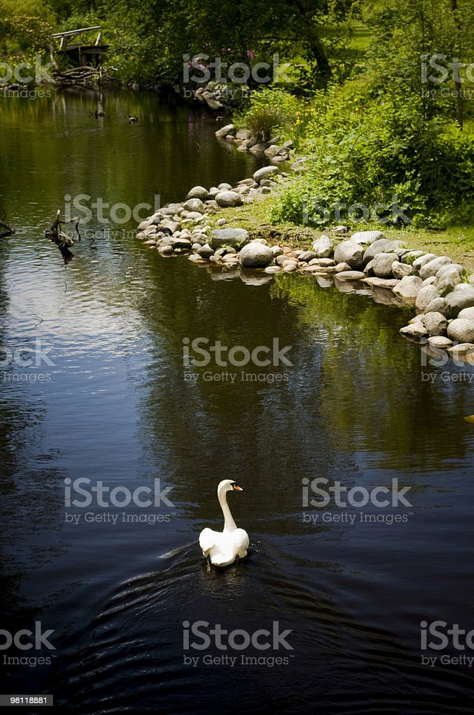 Swimming Swan royalty-free stock photo