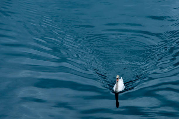 Swimming swan with water trails stock photo