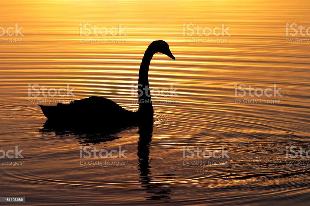 Silhueta de natação Swan em um belo pôr-do-sol foto royalty-free