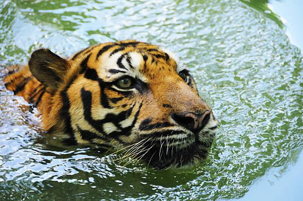 Swimming Tiger stock photo