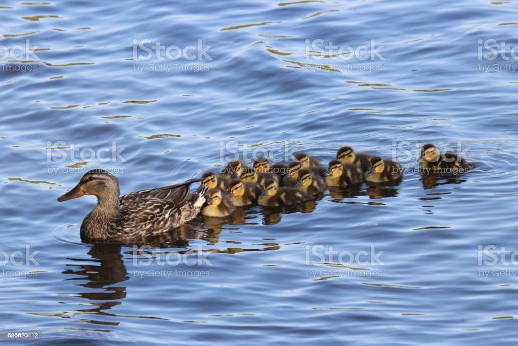 Swimming Together royalty-free stock photo