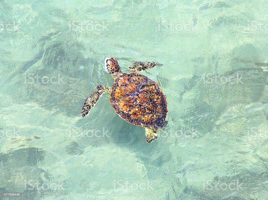 swimming turtle stock photo