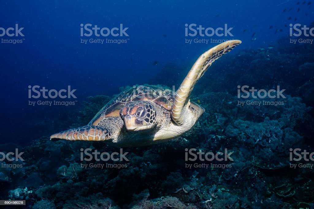 Swimming turtle seems like it is flying over the reef. stock photo