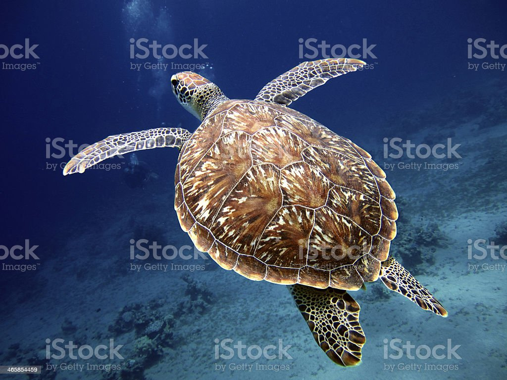 Swimming Turtle with Beautiful Shell stock photo