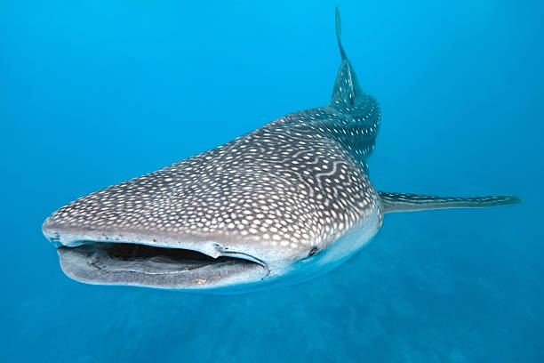 Swimming whale shark graphic with blue background Whale shark  on the blue background whale shark stock pictures, royalty-free photos & images