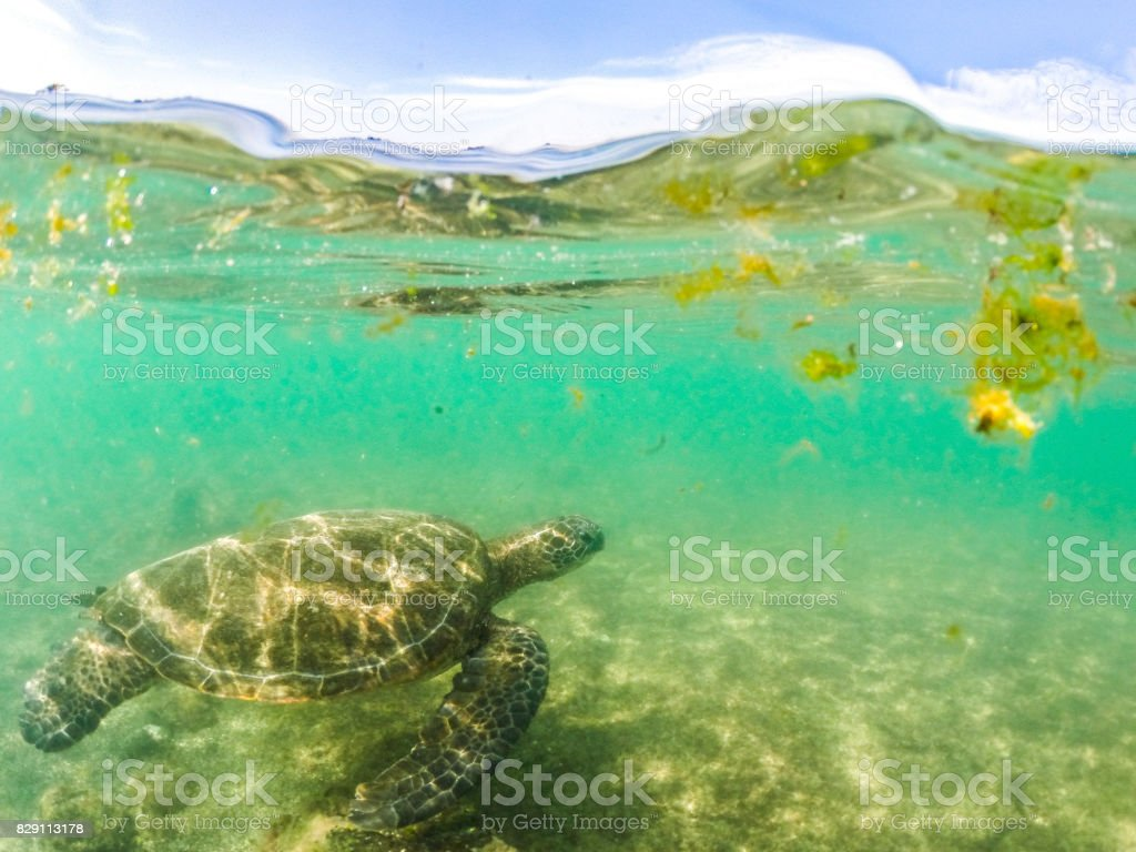 Swimming with Sea Turtles stock photo