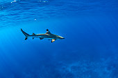 diving with black tip shark underwater in french polynesia