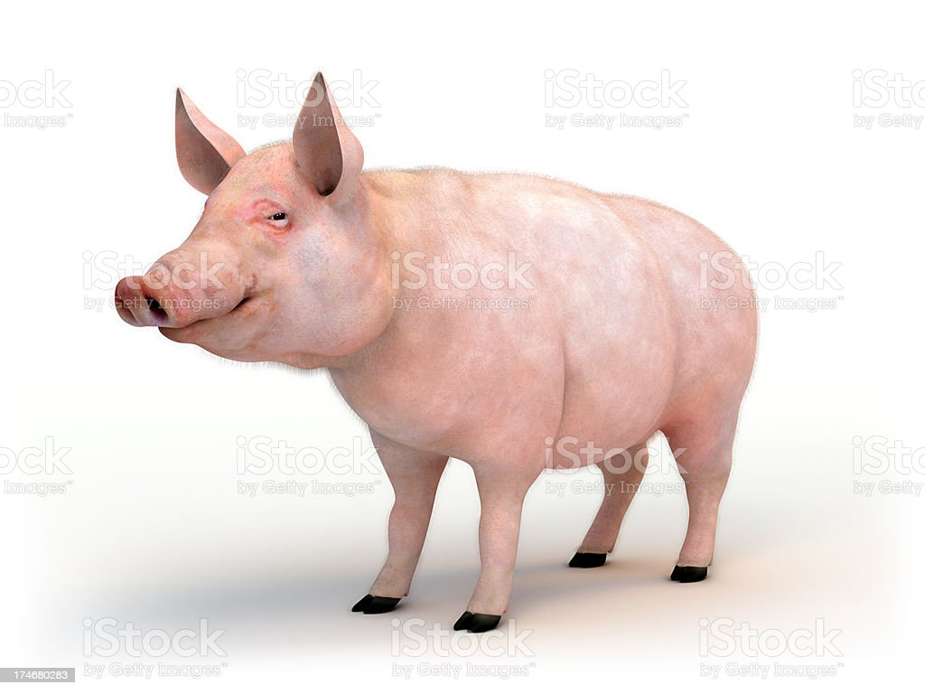 Swine isolated on white with clipping path stock photo
