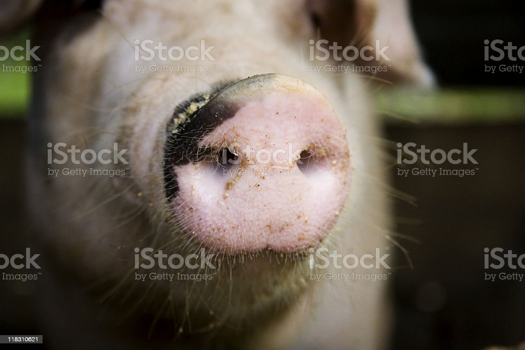 Swine snout royalty-free stock photo