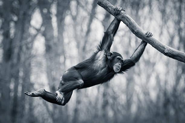 Swinging Chimp III stock photo
