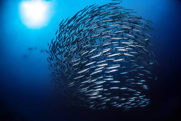 Misto de peixes Barracuda com luz do sol - foto de acervo