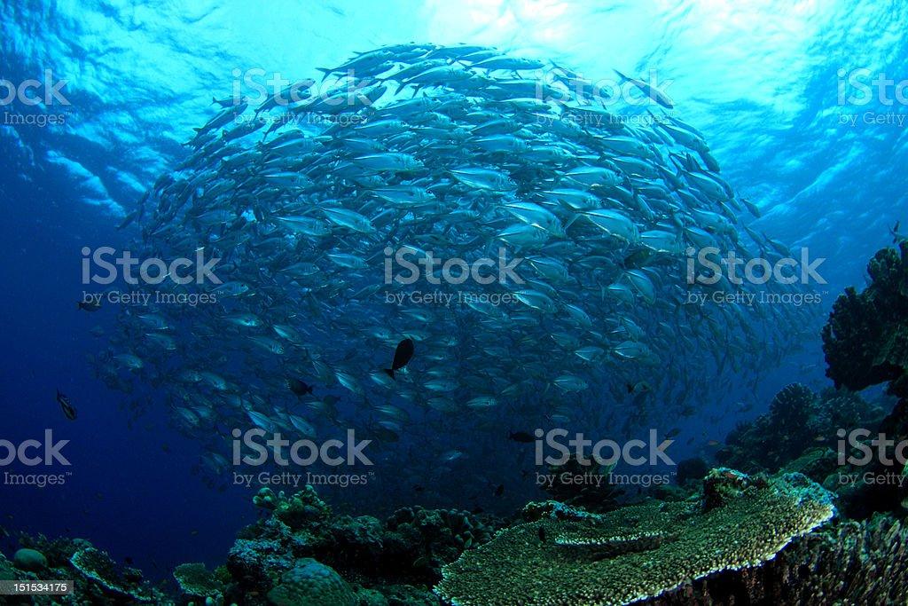 Swirl of fish royalty-free stock photo