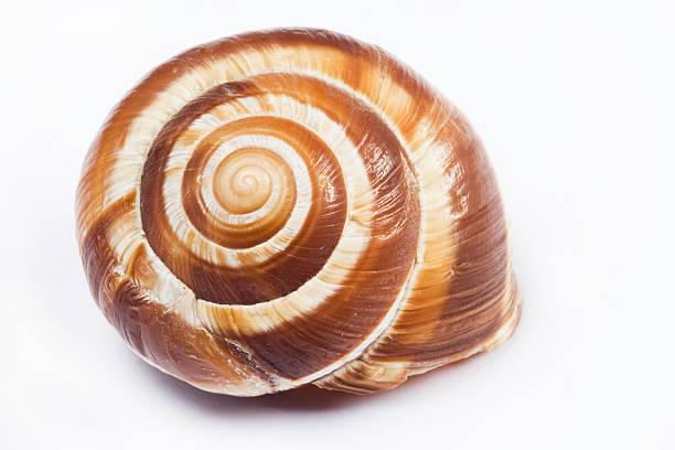 wir shell - ślimak gastropoda zdjęcia i obrazy z banku zdjęć