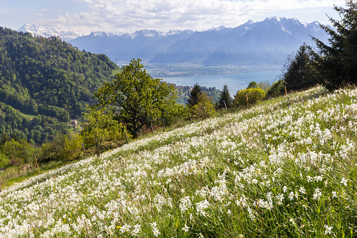 Swiss Alps with blooming wild narcissus flower (narcissus poeticus)