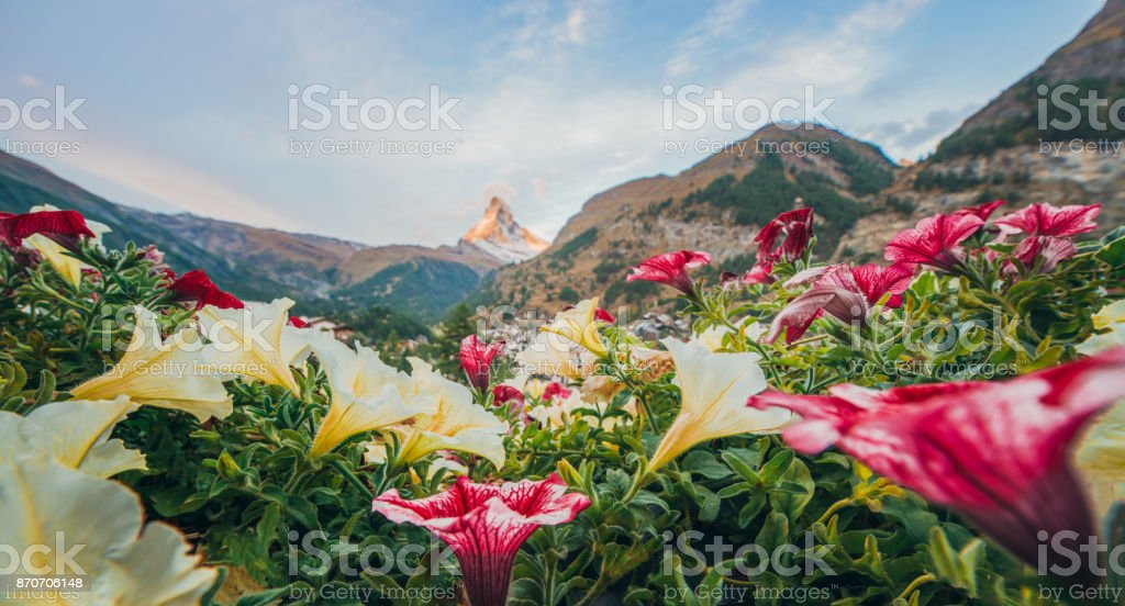 Swiss beauty, Matterhorn and flowers, Zermatt,Valais,Switzerland,Europe stock photo