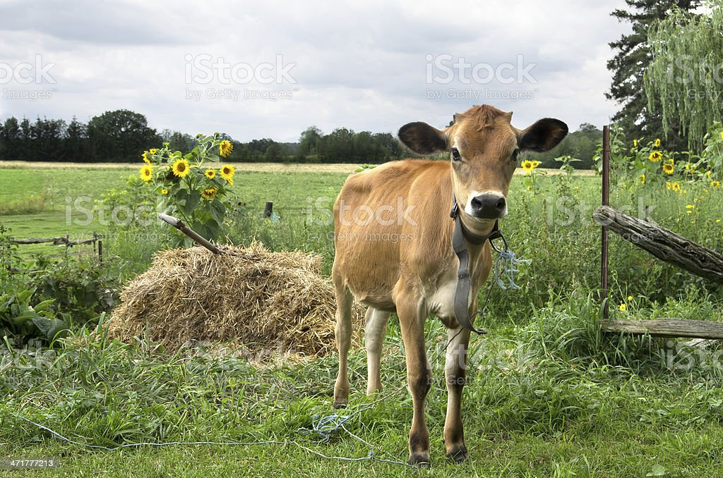 Swiss Brown Calf stock photo