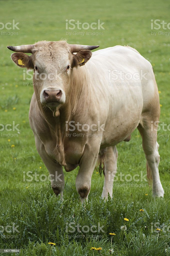 Swiss bull in meadow stock photo