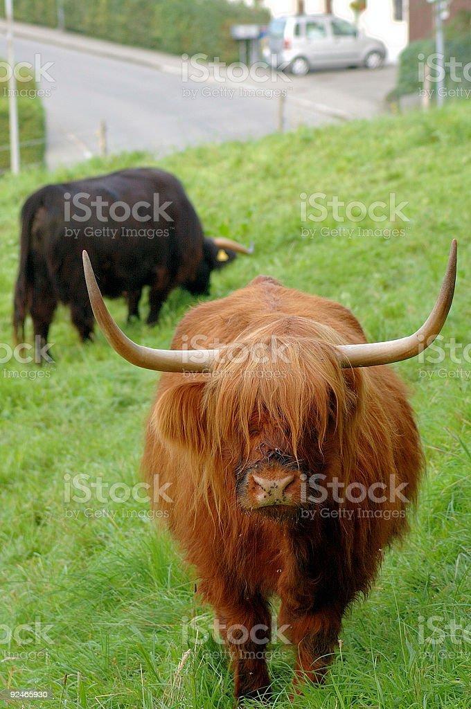 Swiss Bull royalty-free stock photo