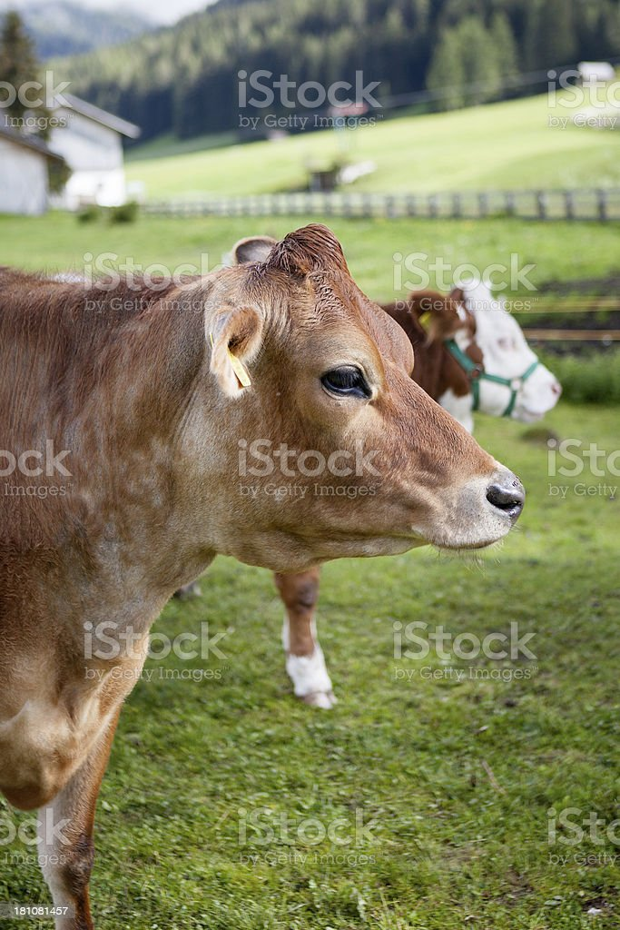 Braunvieh auf der Wiese – Foto