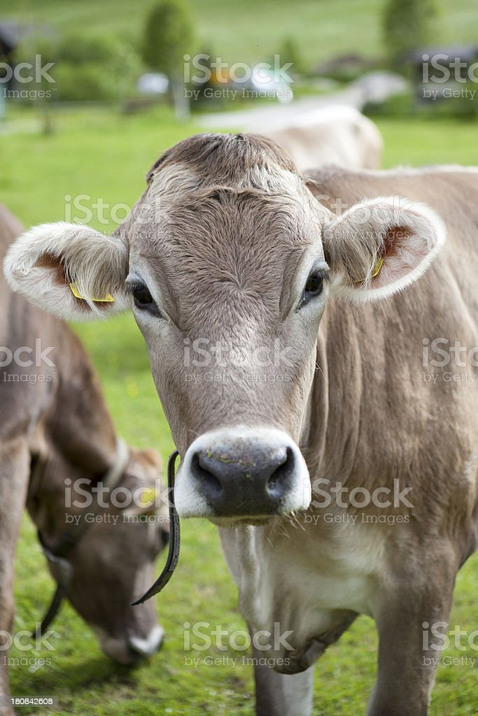 Swiss Cattles on the meadow, Alto Adige stock photo