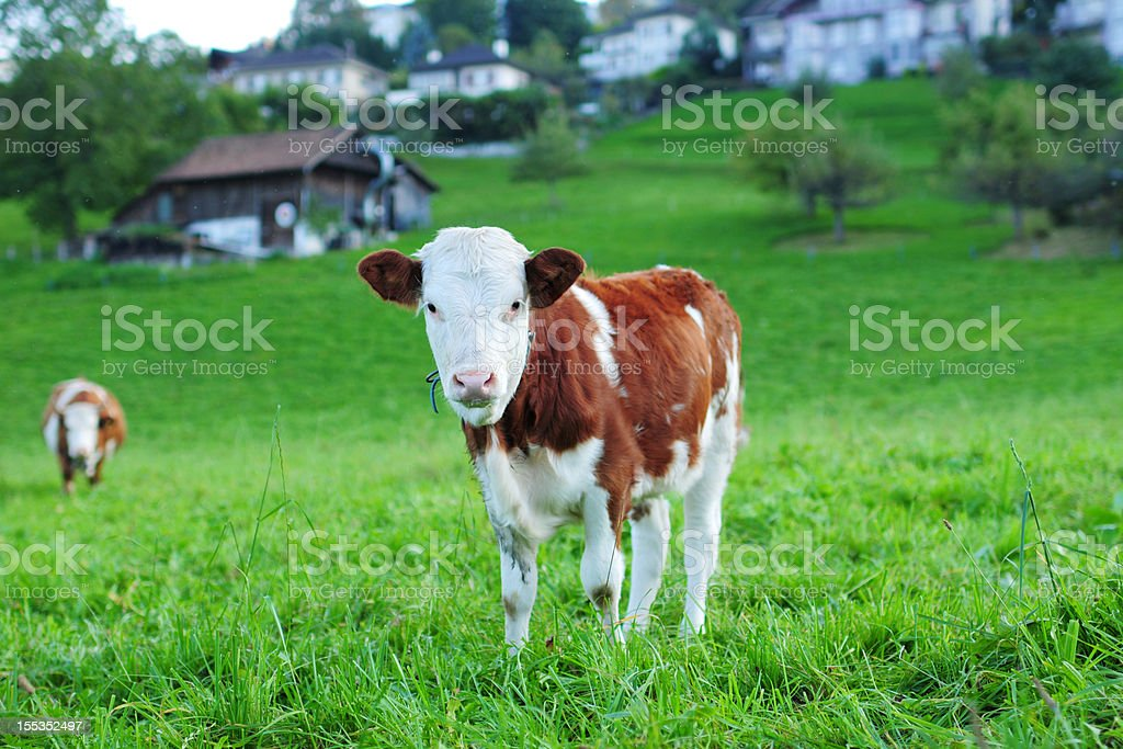 Swiss Cow Eating Grass - XLarge stock photo