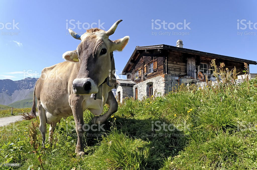 Swiss cow in front of an Alpine chalet stock photo