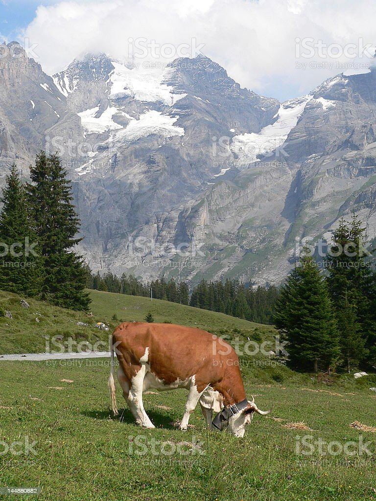 Swiss cow with bell royalty-free stock photo