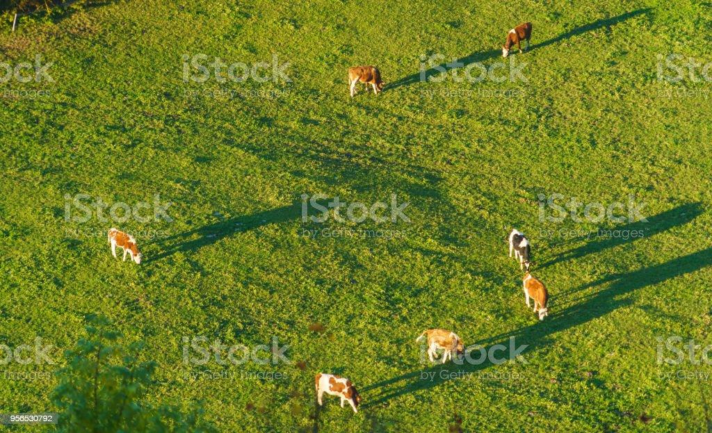 Schweizer Kühe grasen auf der Wiese Luftaufnahme, Gruyères, Schweiz – Foto