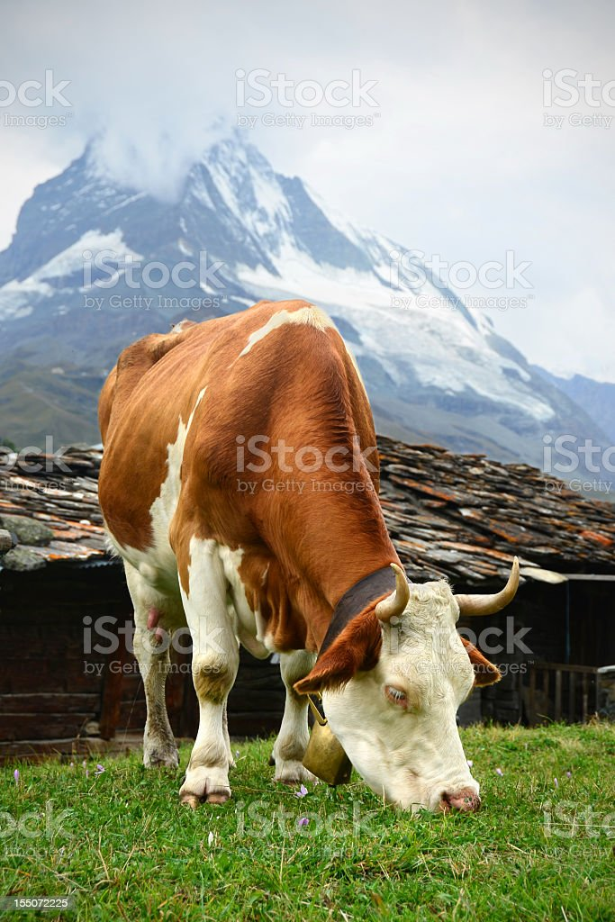 Swiss Dairy Cow and Matterhorn stock photo