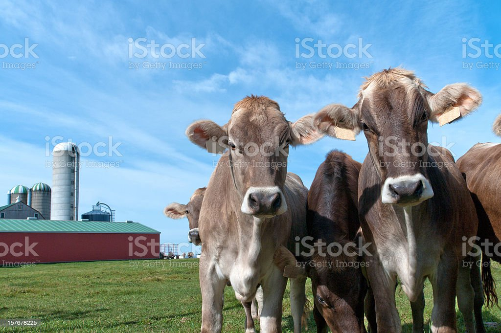 Swiss Dairy Cows by Barn stock photo