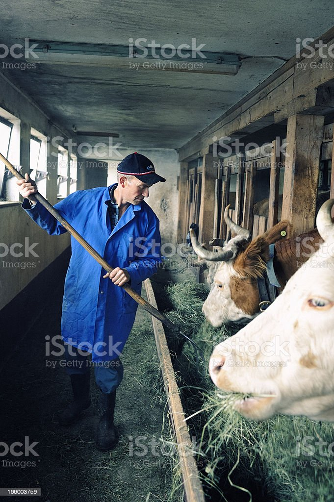 Swiss Farmer Feeding Cows in Traditional Cowshed royalty-free stock photo